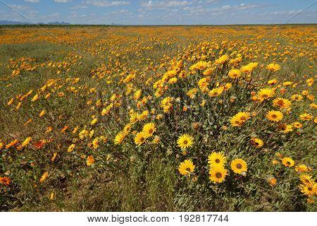 Brightly colored wild flowers (Ursinia calenduliflora), Namaqualand, South Africa