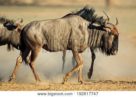A blue wildebeest (Connochaetes taurinus) in dust, Kalahari desert, South Africa