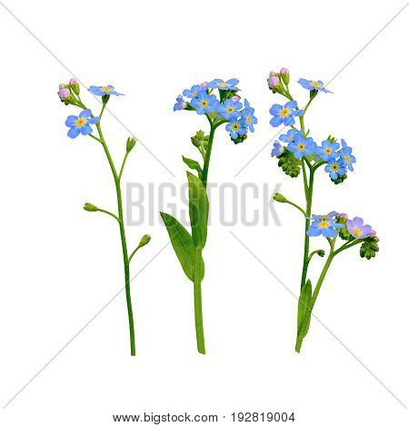 forget me not flowers isolated on white background