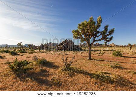 Joshua tree standing alone in desert with giant rocks, Joshua tree national park, California