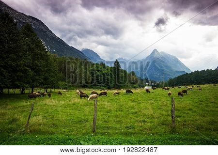 Alpine meadow with feeding sheep with high mountains in back befour storm, Slovenia