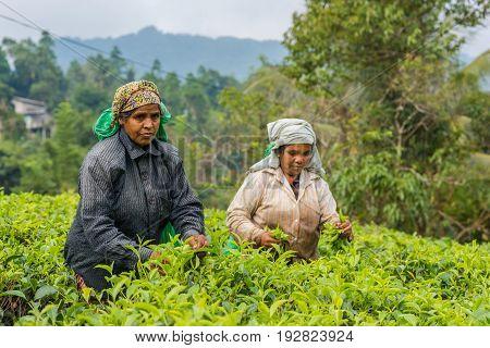 RASSAGALA SRI LANKA - MAR 21: Woman from Sri lanka picking tea leaf on tea plantation on March 19 2016 on a tea plantation at Rassagala Sri Lanka.