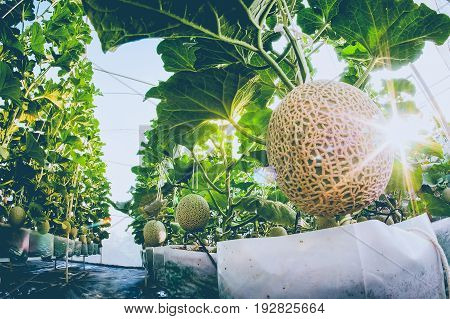 Cantaloupe melons growing in a greenhouse farm