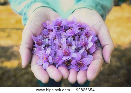 Close up image of purple Wild Himalayan Cherry flowers (Sakura of Thailand) on woman hands with blurred bokeh background