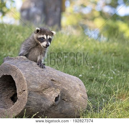 Young, curious, raccoon, climbing on a hollowed log.