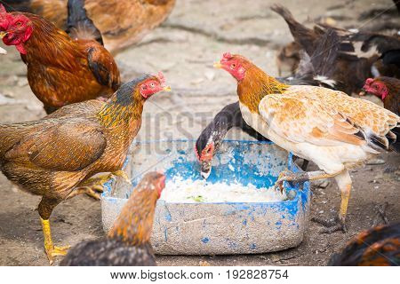 Small chicken farm in the community,Chicken feeds in food rails