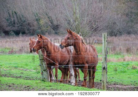 A group of Horses in East-Flanders, Belgium, behind a barbed wire fence.