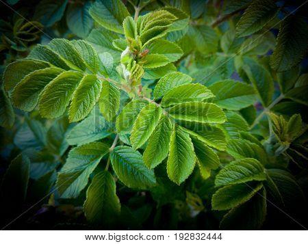 Rosehip green leaves