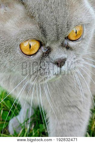 Gray Scottish cat close-up