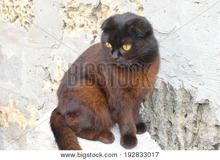Portrait of the beautiful lop-eared black cat