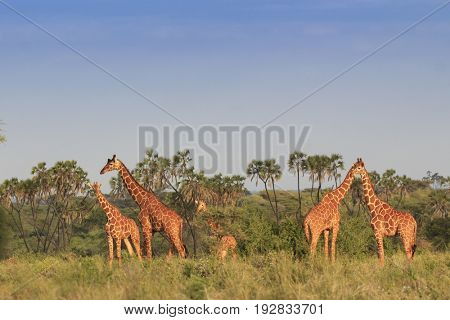 Wild Giraffes in Meru National Park, Kenya