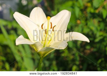 Lily flower on flowerbed in the garden