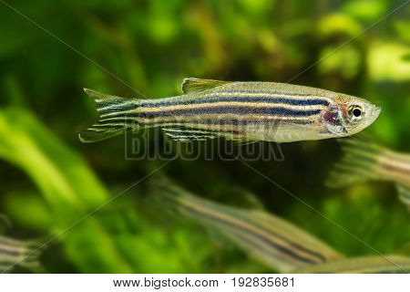 Danio rerio an aquarium fish close up