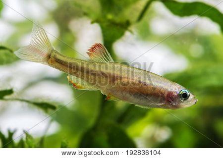 Tanichthys albonubes an aquarium fish close up