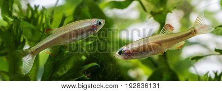 Tanichthys albonubes aquarium fish close up in detail