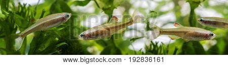 Tanichthys albonubes -  an comon aquarium fish