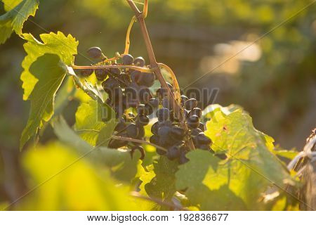 Ripe grapes in an old vineyard in the tuscany winegrowing area, Italy Europe