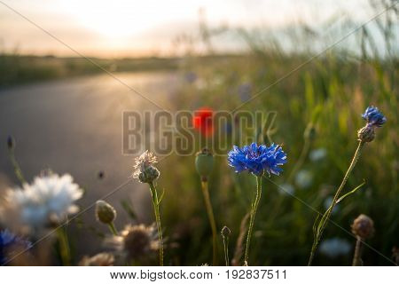 Detail macro shot of a small bug in a field flower with a setting sun ironing light and a bokeh background. Different colors of flowers like cornflowers in white and blue and red poppies.