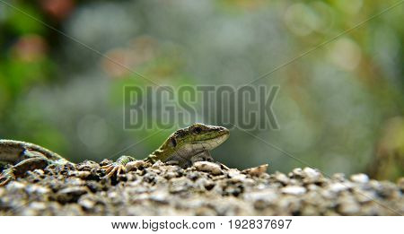 Isolated green lizard behind the wall, closeup and macro photography