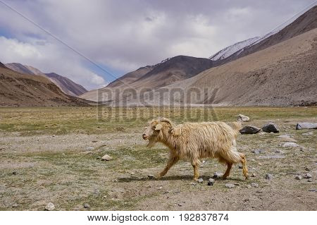Kashmir goat  in beautiful  landscape with snow peaks background,North India.