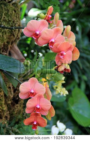 Vertical image of peach colored exotic orchids growing from trunk of tree in  tropical garden.