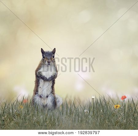 Eastern gray squirrel in the grass