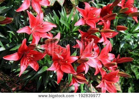 Bright red day lilies with healthy green leaves in backyard garden