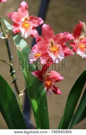 Gorgeous pink and yellow exotic orchids in tropical setting of garden.