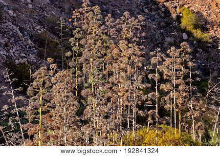 Blooming Agave on rocky shore Coast of the Tenerife Islands