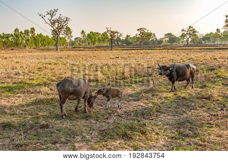Water Buffalo Mother and Baby Eating Grass in Country Field in Southeast Asia