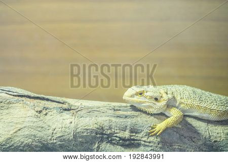 Closeup chameleon cling on the timber on blurred wood wall textured background with copy space