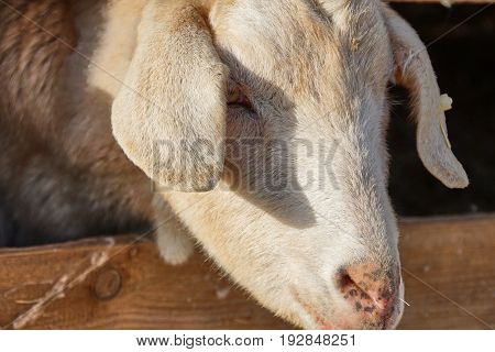Goat stich out of his barn - close up