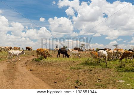 animal, nature and wildlife concept - cows grazing in savannah at africa