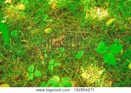 Rana temporaria sitting in green grass in the park