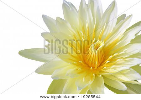 Yellow water lily isolated on white background