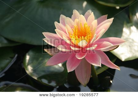 Pink water lily in a sunny afternoon