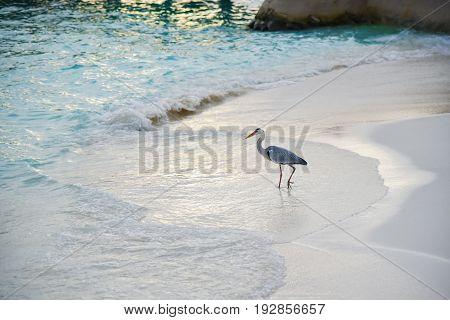 Egret On The Beach In Adaaran Island,maldives