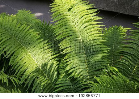 Fern. Fern bush on the flowerbed. The texture of the fern. Selective focus.