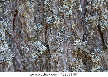 Crushed Tree Bark Texture Background Close Up. Shredded Brown Tree Bark For Decoration.
