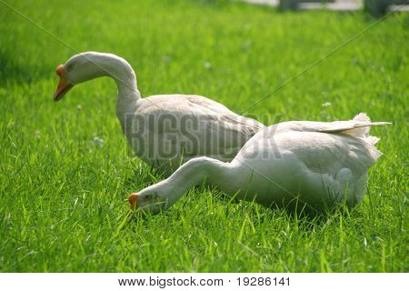 A couple of wild geese on green lawn
