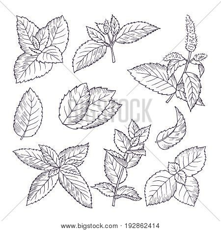 Hand drawn illustrations of mint leaves and branches. Herbal doodle background. Spice herb mint medicine ingredient