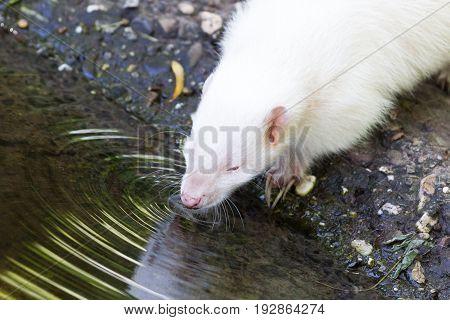 Albino Skunk Drinking