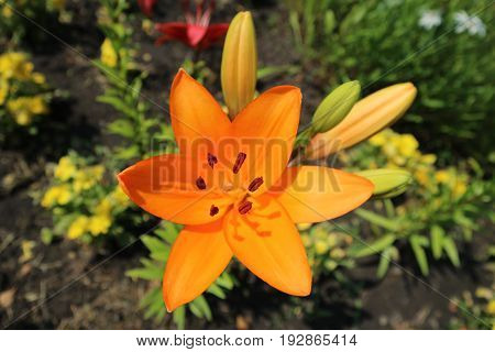 Asiatic hybrid lily 'Apeldoorn' one orange flower and buds.