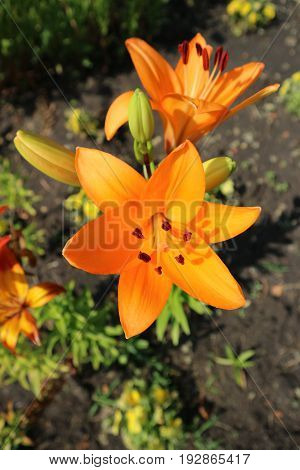 Asiatic hybrid lily 'Apeldoorn' two orange flowers and buds