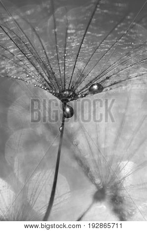 Dandelion with drops of water black and white photo. A beautiful macro of a dandelion. Selective focus.