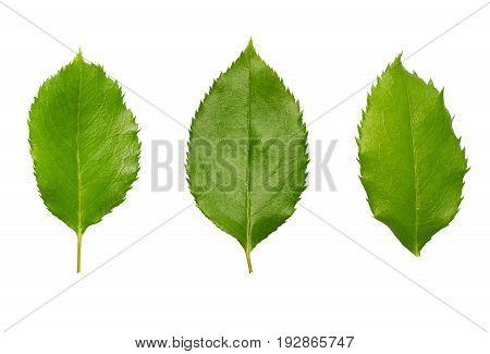 Green fresh rose leaves set isolated on white background. Organic plant leaf close up, set of three.