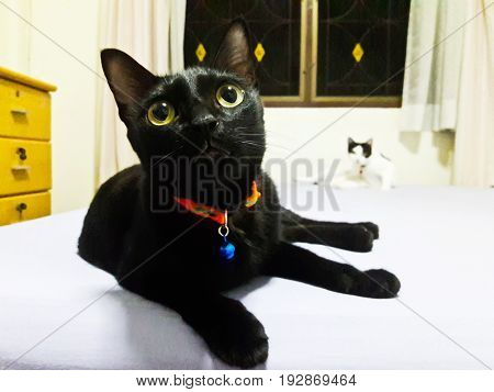 Cute Thai Black Cat in Bangkok ,Thailand
