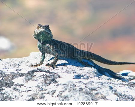 A gecko on Table Mountain, Cape Town, South Africa 22xxv