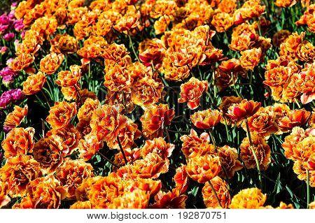 Terry orange tulips closeup nature background new