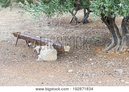 Sheeps laying near the trough under green olive tree in Crete, Greece